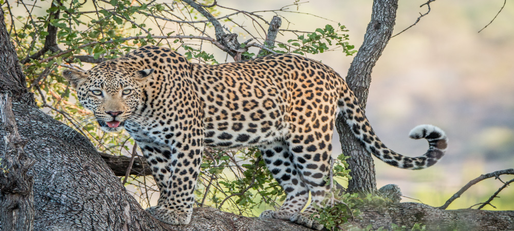 A Leopard in a tree in the Kruger National Park South Africa.