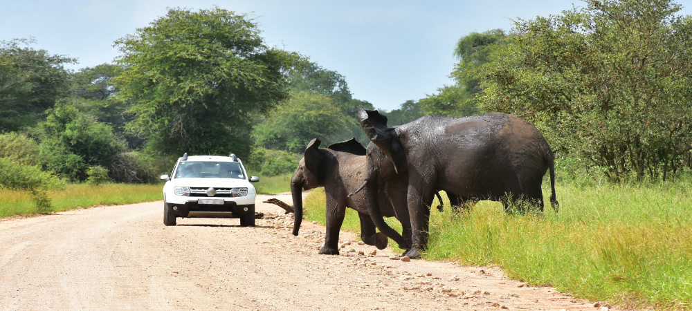 Elephants in African Lanscape Here in Kruger National Park in South Africa